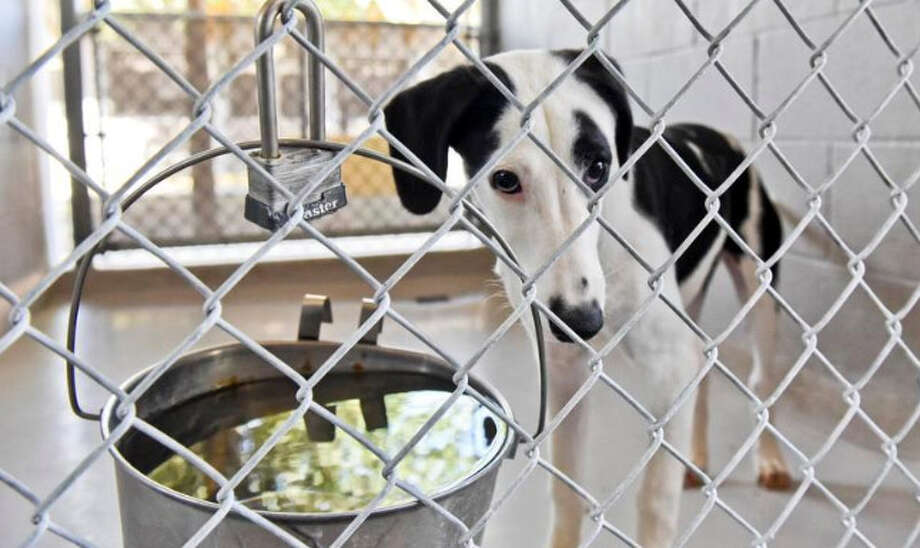 In this file photo, a dog waits to be adopted at the City of Laredo's animal care services department on Aug. 18 during the Clear the Shelters pet adoption event. Photo: Danny Zaragoza