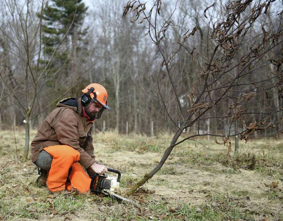 Greenwich Land Trust Conservation & Outreach Director Steve Conaway, Ph.D., cuts down an infected American Chestnut tree at GLT's American Chestnut Sanctuary in Greenwich, Conn. Thursday, Jan. 10, 2019. In 2014, Greenwich Land Trust planted 400 research seedlings approved by the American Chestnut Foundation in an enclosed area off Burning Tree Road. The species was once a dominant tree of Eastern U.S. forests, but was virtually eradicated by an Asian blight at the turn of the 20th century. Over several generations, the American Chestnut Foundation has propagated trees with qualities of the American Chestnut, but with disease resistance genes found in their Asian counterparts. The breeding project has been largely successful, as most of the trees planted at the American Chestnut Sanctary in Greenwich have been resistant to the disease. Photo: Tyler Sizemore / Hearst Connecticut Media / Greenwich Time