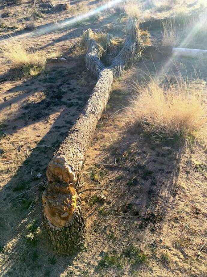 A picture provided by the National Park Service shows a felled Joshua tree at Joshua Tree National Park. The park sustained extra damage during the partial government shutdown. Photo: National Park Service