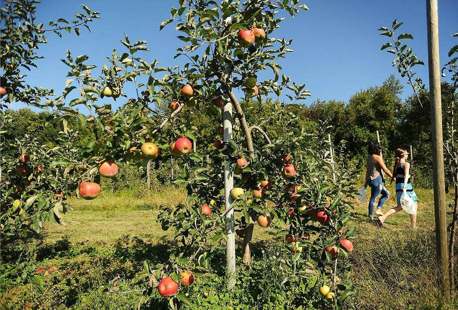 Apples are ripe for the picking at Beardsley's Cider Mill & Orchard at 278 Leavenworth Road Route 110 in Shelton, Conn. on Sunday, September 24, 2017. The orchard is open for pick-your-own on weekends. Photo: Brian A. Pounds / Hearst Connecticut Media