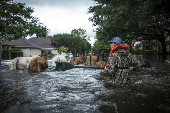 Trey Holladay herds livestock through a flooded neighborhood west of Houston after Hurricane Harvey on Aug. 29, 2017. A reader engages in the debate on whether extreme weather events such as this are a result of climate change.