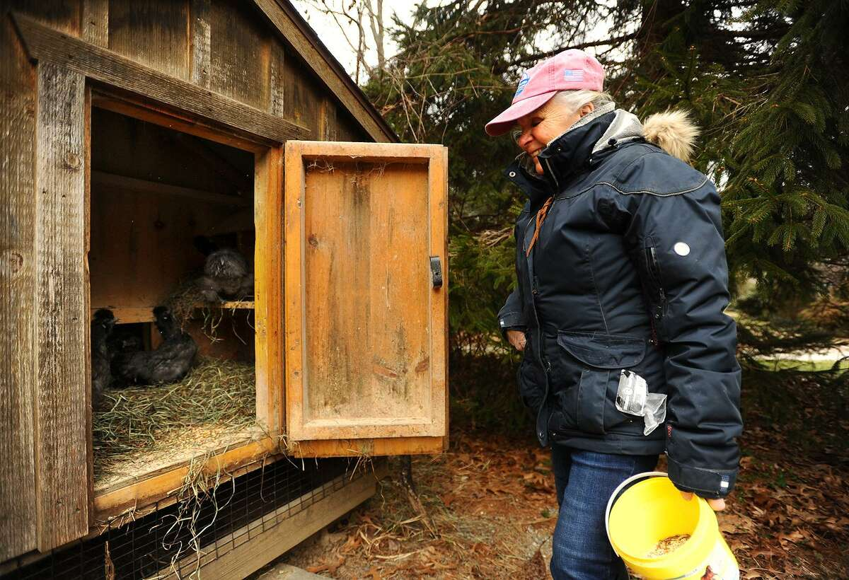 Gail Bunovsky feeds the chickens in one of her two coops on her 2 acre property in Monroe, Conn. on Thursday, January 10, 2019. Monroe recently amended its regulations to allow chickens on property less than 2 acres, provided the coops are set far enough back from the property line.