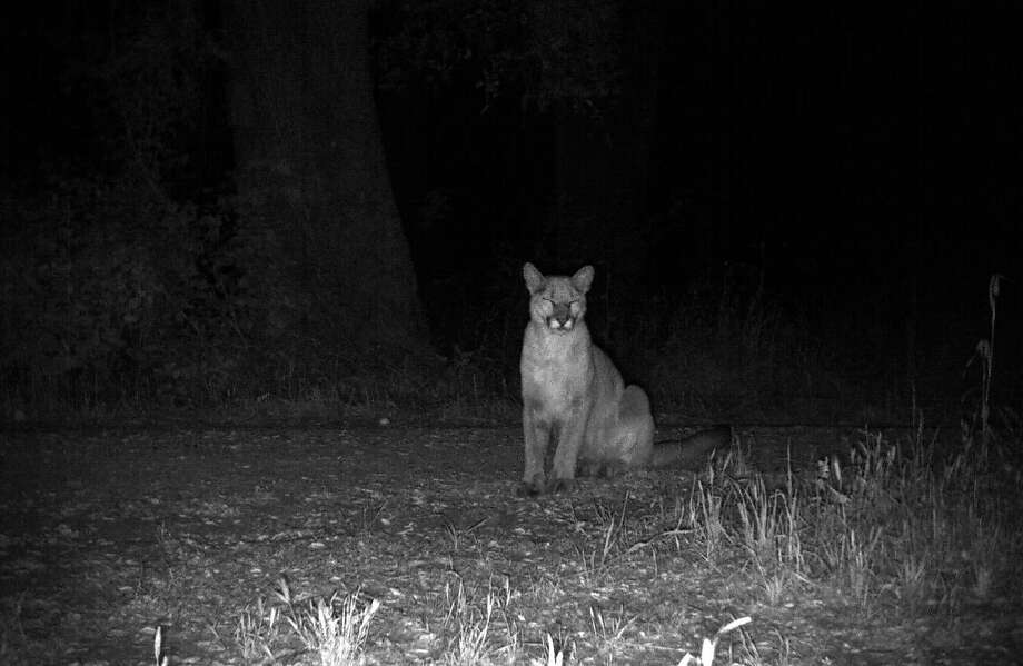 FILE -- A mountain lion (Puma concolor) is seen in this file photo belonging to Jasper Ridge Biological Preserve of Stanford University. A mountain lion was seen in a Pacifica backyard Friday evening, according to police. Photo: Jasper Ridge Biological Preserve / Stanford University