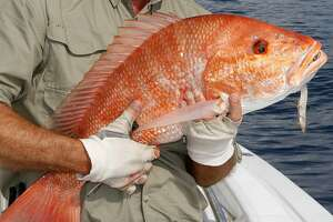 Despite a booming red snapper population that has the annual catch quota for recreational anglers at record level, the 2016 recreational fishing season for anglers targeting snapper from private boats in federal waters of the Gulf of Mexico is projected to run as few as six days and no more than nine when it opens June 1. Houston Chronicle photo by Shannon Tompkins