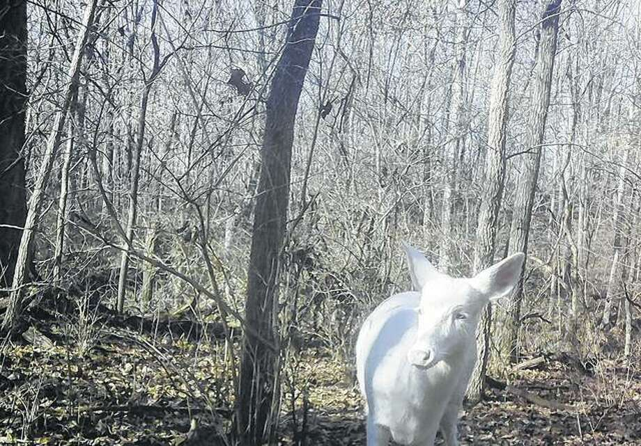 An albino deer was capatured earlier on a game camera in Roodhouse. Photo: Photo Provided