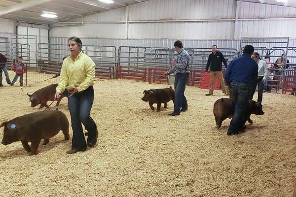 Area kids have been participating in their local stock shows, like the Abernathy Stock Show (pictured) while preparations are underway for the Hale County Stock Show, which starts Thursday.