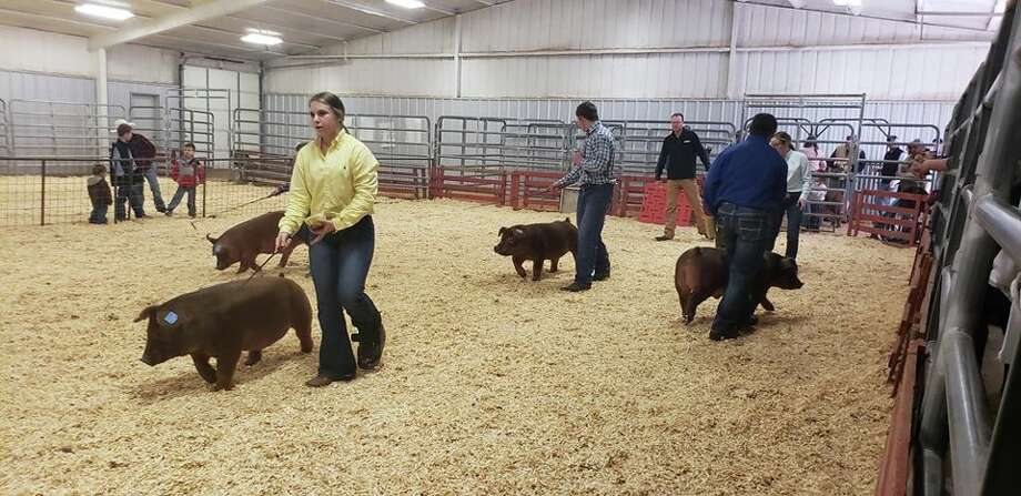 Area kids have been participating in their local stock shows, like the Abernathy Stock Show (pictured) while preparations are underway for the Hale County Stock Show, which starts Thursday. Photo: Ellysa Harris/Plainview Herald