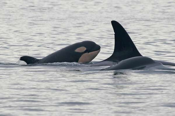 Shots from the Center for Whale Research's tracking of the new orca baby, L124. She is believed to be the calf of L77.