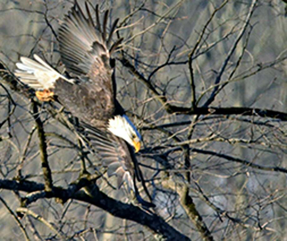 A bald eagle along the Housatonic River in New Milford. Photo: Alex Kearney / Contributed File Photo / ackbluefish@yahoo.com