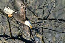 A bald eagle along the Housatonic River in New Milford.