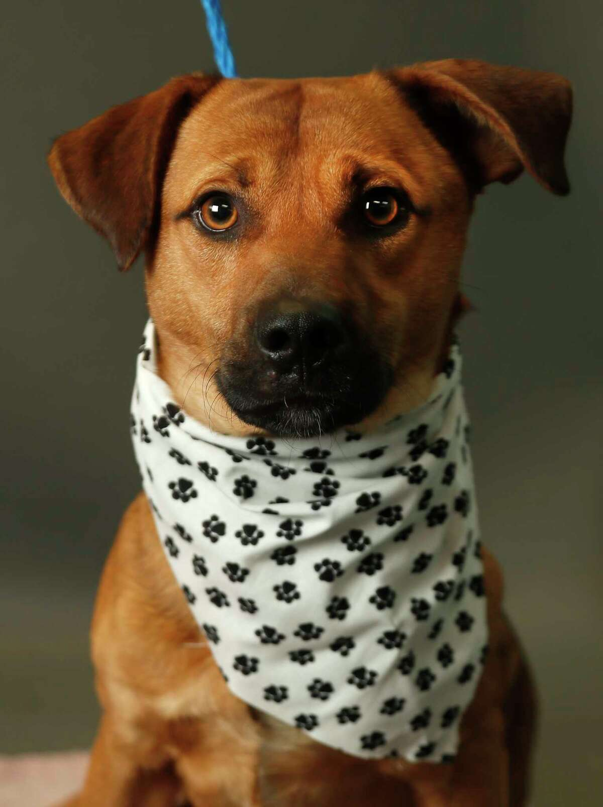 Handsome is a 1-year-old, male, Beagle/Labrador/Dachshund mix and is ready to be adopted from Harris County Animal Shelter. (Animal ID: A522863) Photographed Tuesday, Jan. 15, 2019, in Houston.